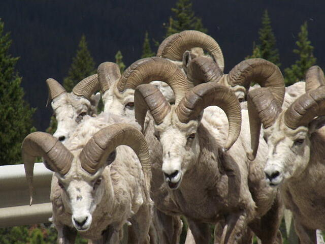 A group of Bighorn Sheep