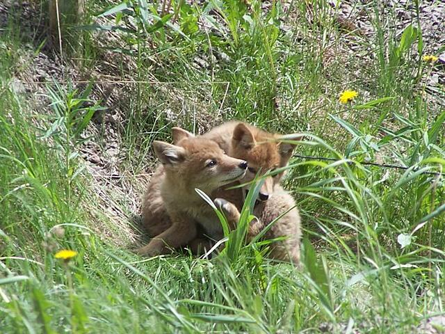 Coyote pups in grass