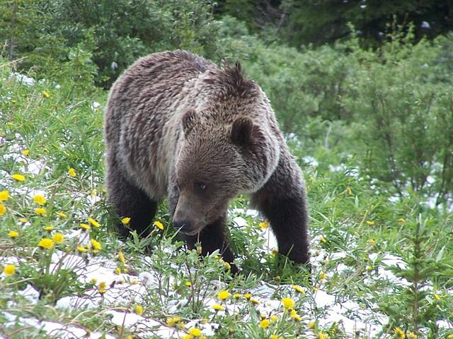 young brown Grizzly bear, side of Highway
