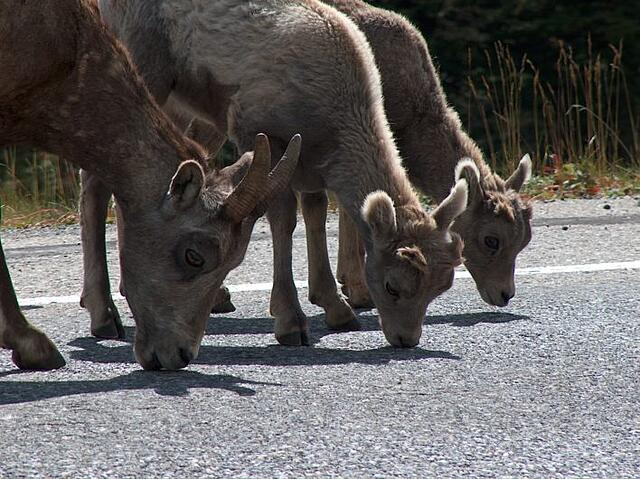 Bighorn mountain sheep licking salt off of pavement
