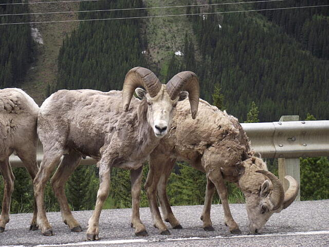 Bighorn Sheep and Mountain Goats along Highway 40