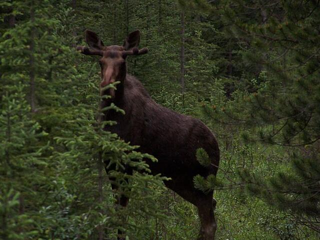 Moose - standing along Smith-Dorrien Trail in Kananaskis