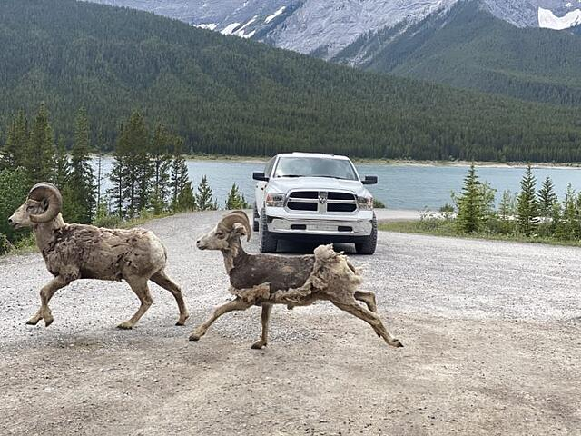 Picture of Wild Mountain Sheep Running across the Road in Upper Lakes Kananaskis Country, with a Dodge Ram Limo in the background
