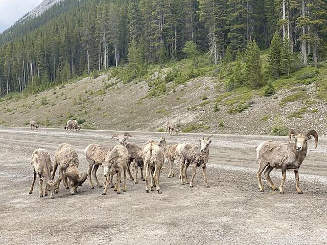 Group of sheep and one ram on Smith Dorrien Trail in Spray Lakes