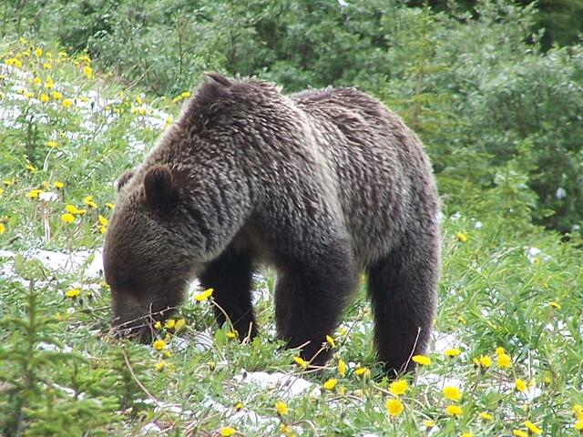 grizzly bear Kananaskis County Alberta