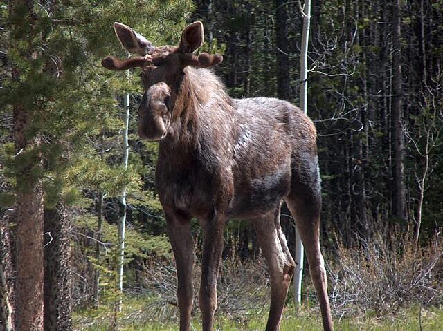 Moose standing Kananaskis Country